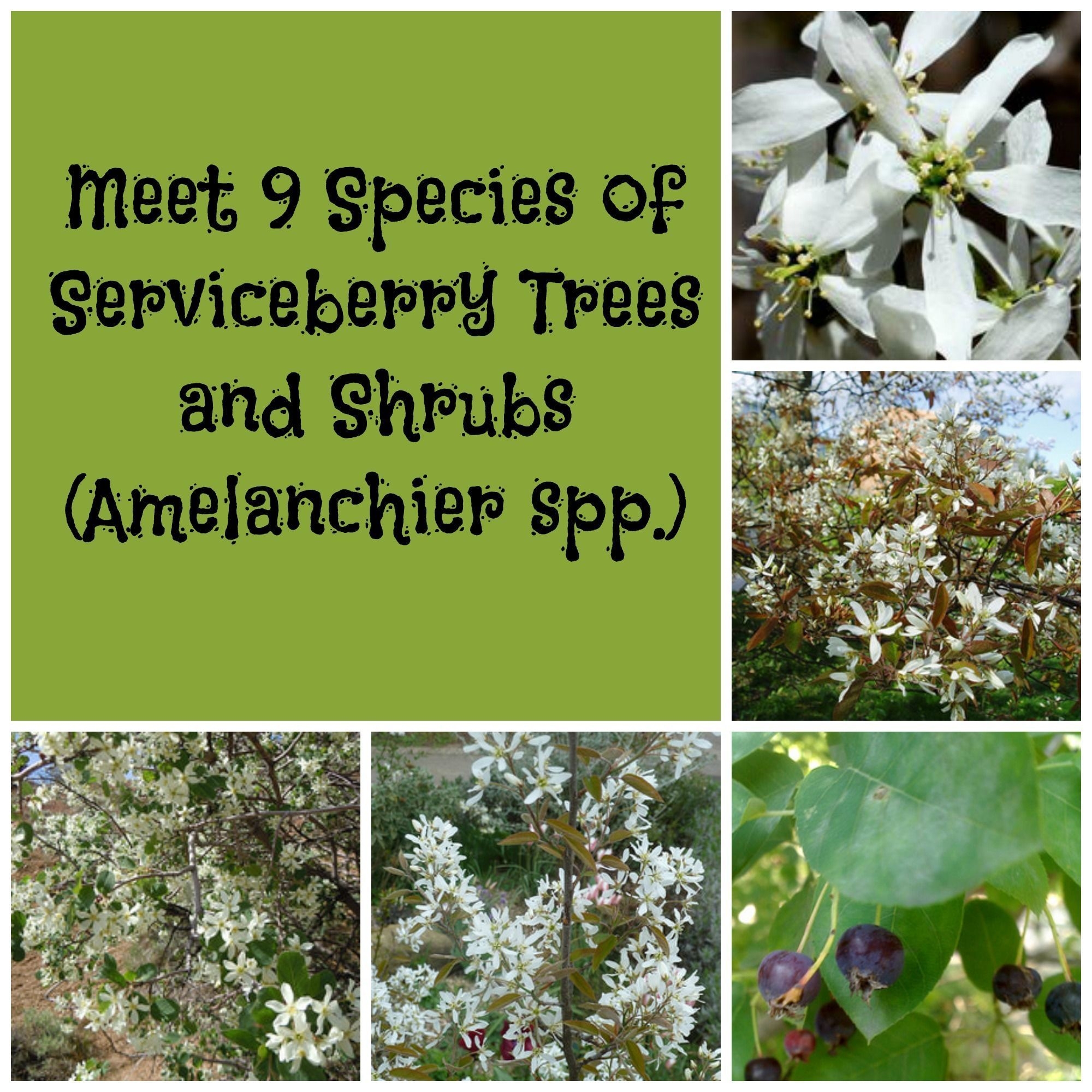 Add White Flowers to Your Garden With a Serviceberry Tree or Shrub ...