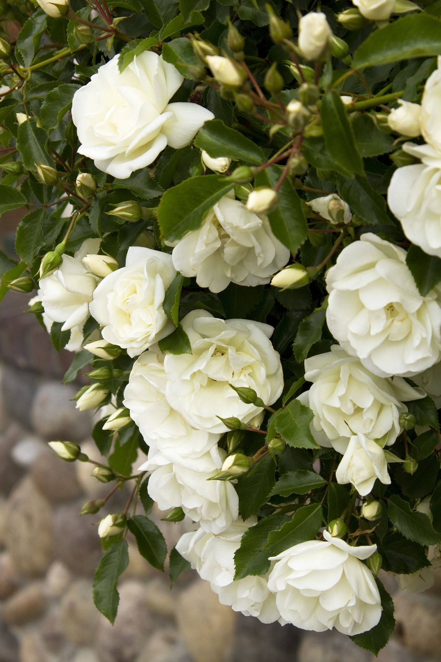 This groundcover rose has creamywhite flowers with rich