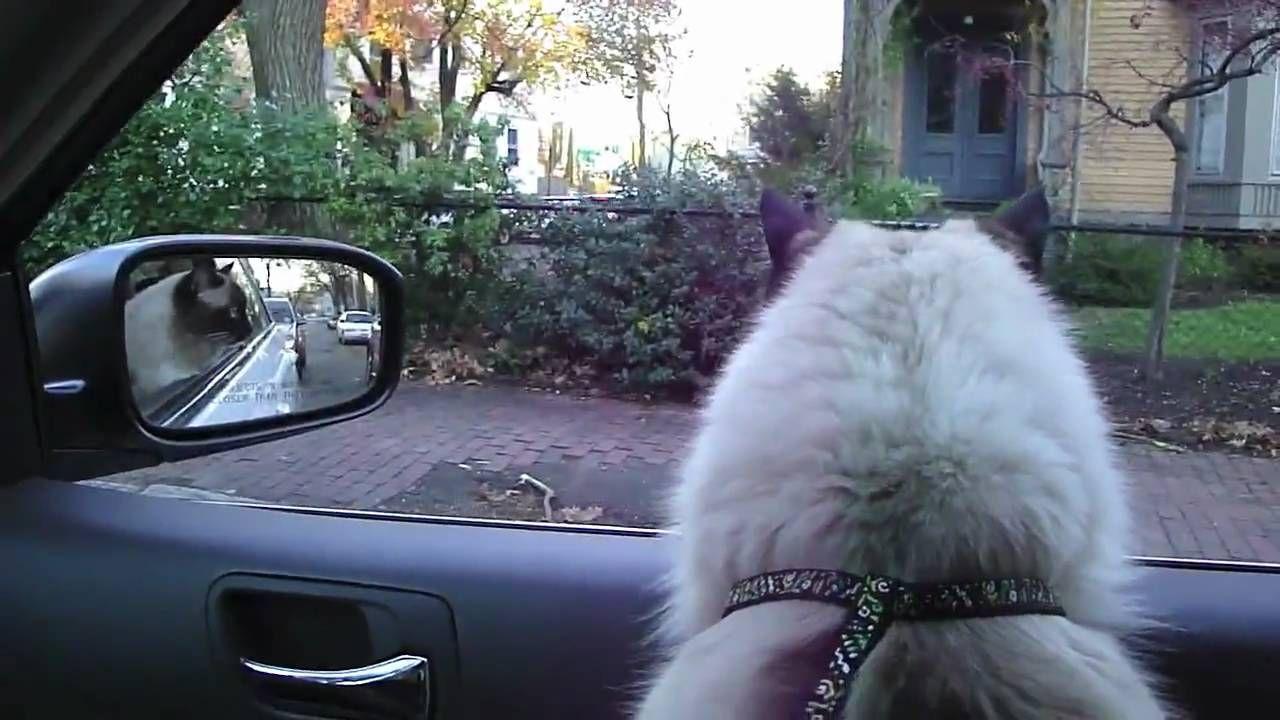 Ragdoll UgoChan travels in the car