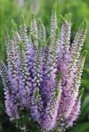 basic info on speedwell 'royal candles' veronica flowers