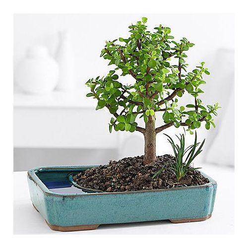 16 Great Retirement Gift Ideas For Teachers Jade Bonsai Bonsai Bonsai Trees For Sale