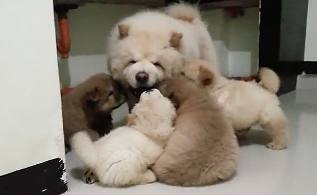 Daily Cute Chow Chow Puppies Swarm Their Mom Care2 Causes