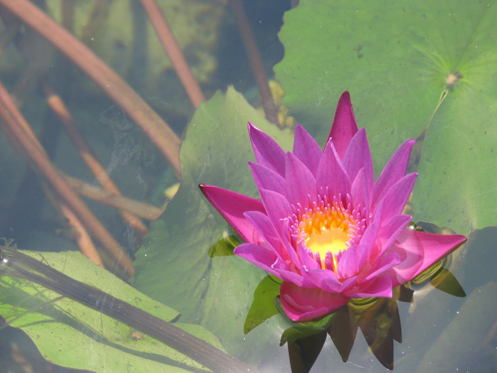 heirloom philosophy Water lilly
