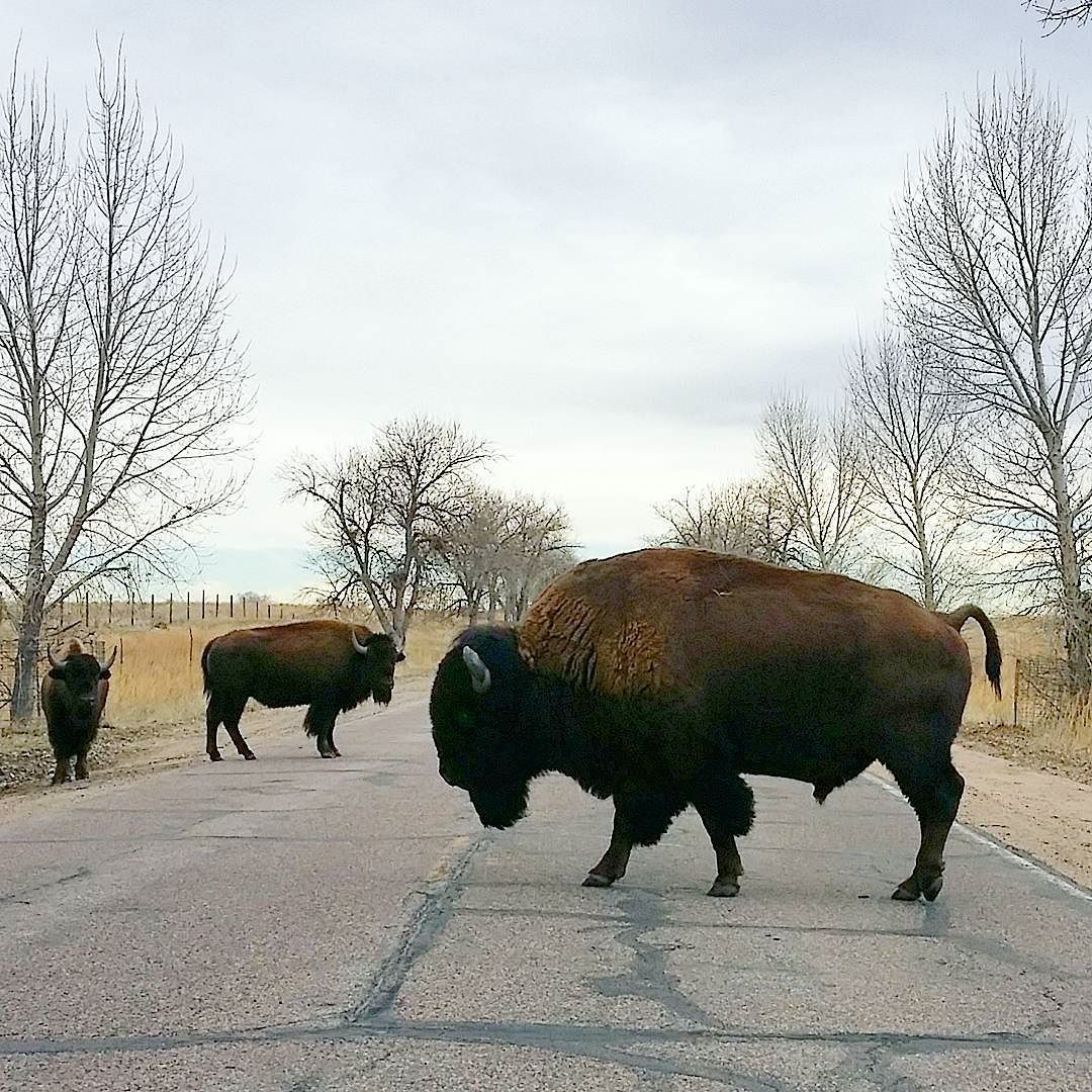 Colorado doesn't have any truly wild bisons left but there's a herd at Rocky Mountain Arsenal that's as wild as it can be just steps away from Denver. We spotted the herd! ...and it really wasn't very hard.  #bison #biisoni #rockymountainarsenal #colorado #visitcolorado #coloradolive #colorfulcolorado #coloradoliving #travel #matka #reissu #nordicnomads #animals #luonto #outdoors (via Instagram)