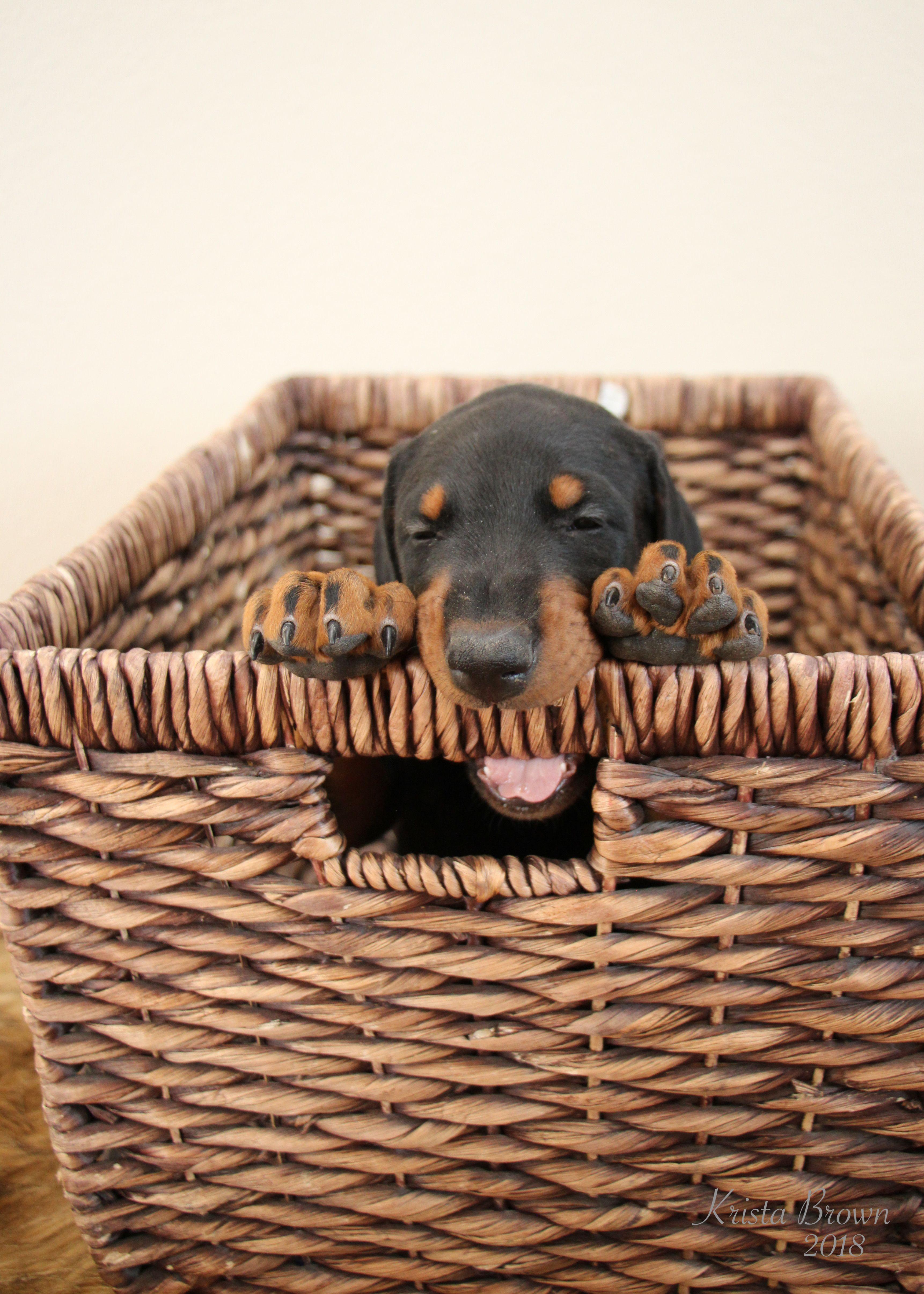 Doberman Pinscher Doberman Pinscher Doberman Doberman Pinscher Dog