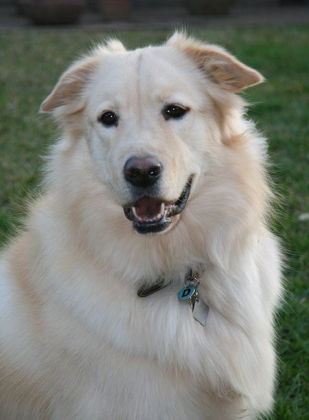 Great Pryness Dog Photo Dante The Great Pyrenees X Golden