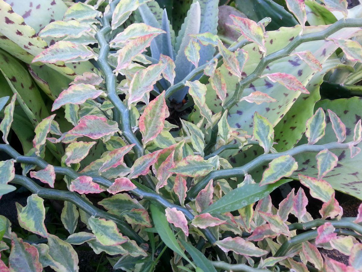 Pedilanthus Tithymaloides Variegatus Zigzgag Plant 12 02 12