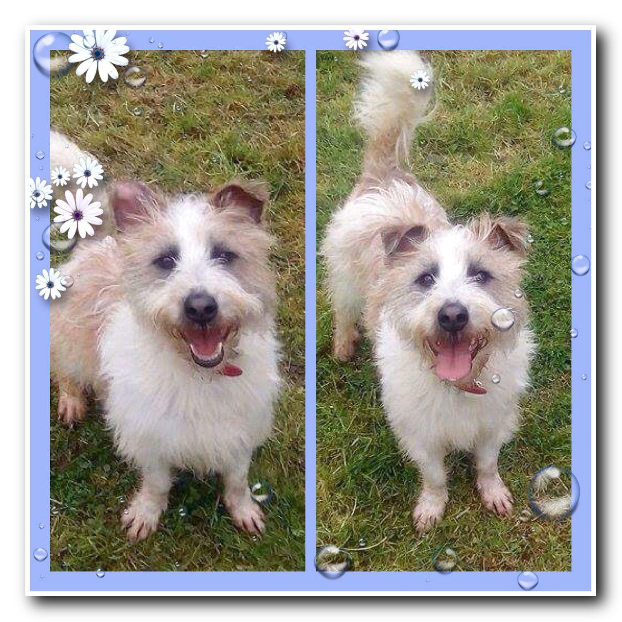 Shih Tzu Cross Border Terrier Jack Russell Puppy Beautiful Dogs Shih Tzu Jack Russell