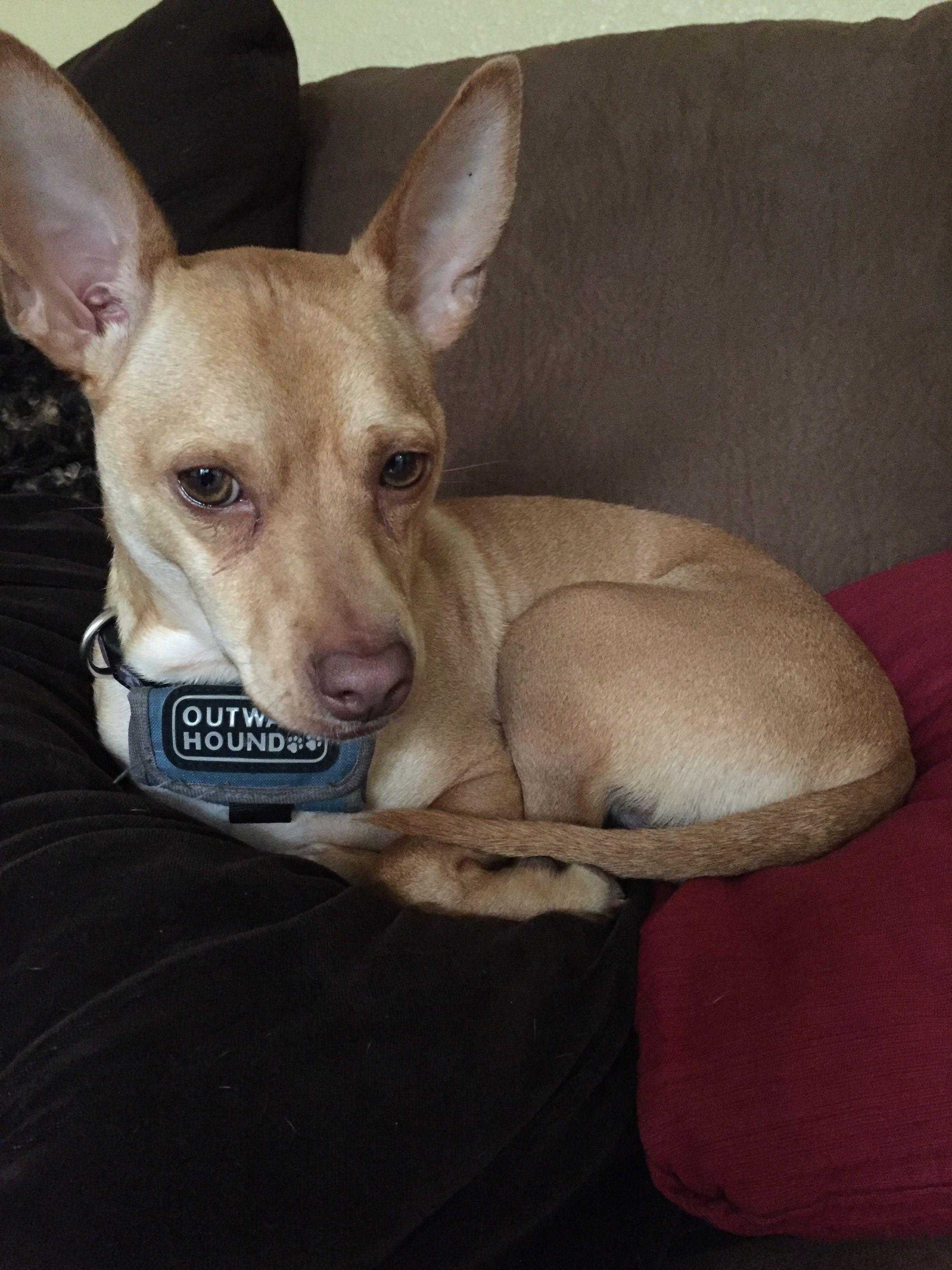 Pin on Basenji Chihuahua mixes