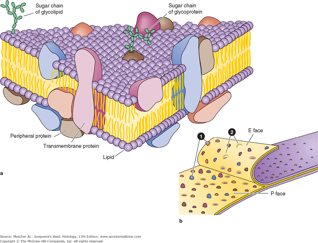 Proteins associated with the membrane lipid bilayer