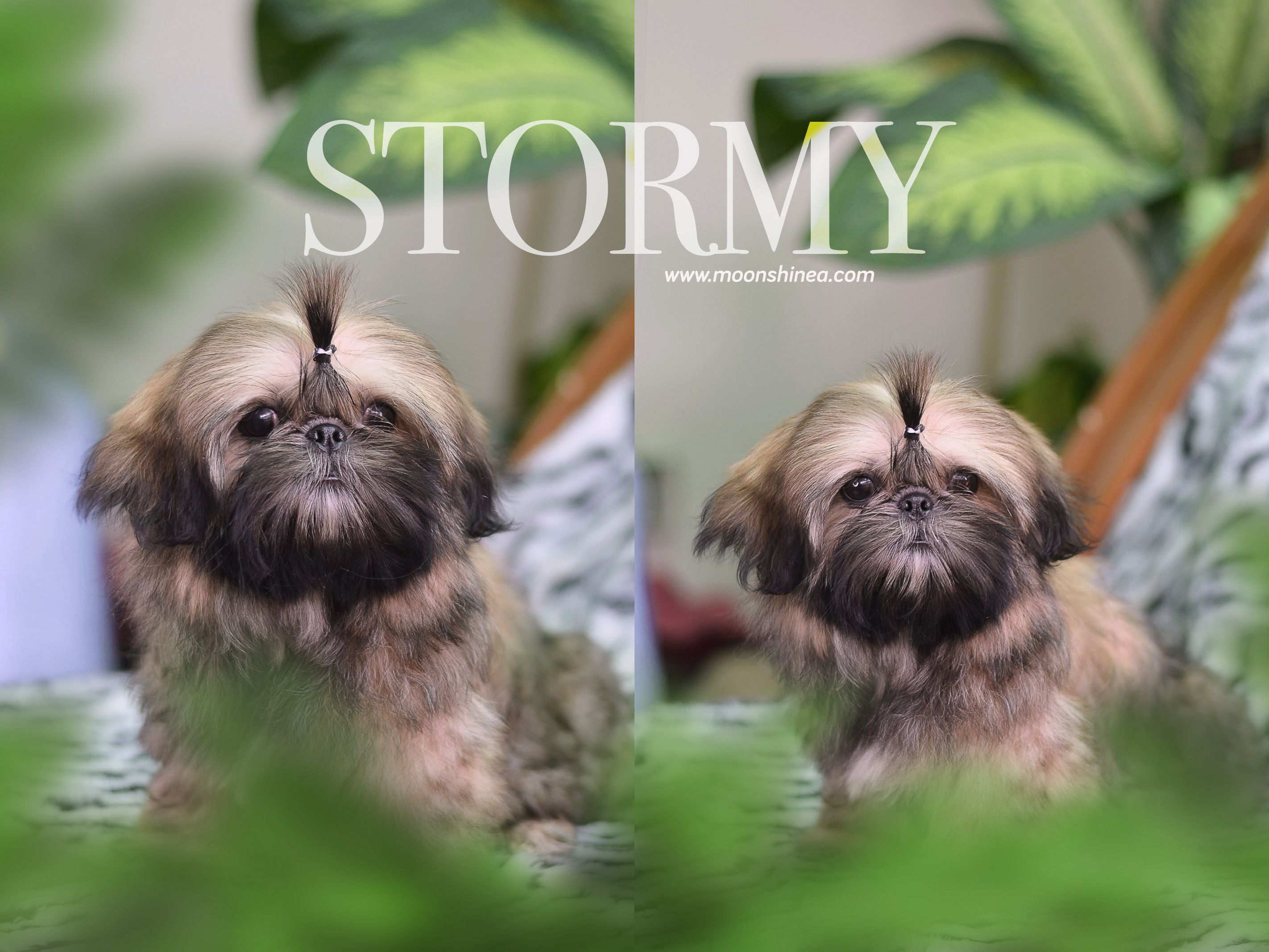 Pretty Shih Tzu Puppy Shih Tzu Puppies Shih Tzu Puppy