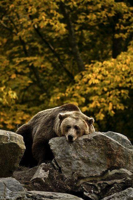 beautiful-f-l-o-w | Bear, Animals wild, Animals