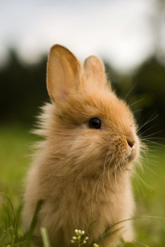 HinhNenIphone4DeThuonNhat12.jpg (640×960) ウサギ