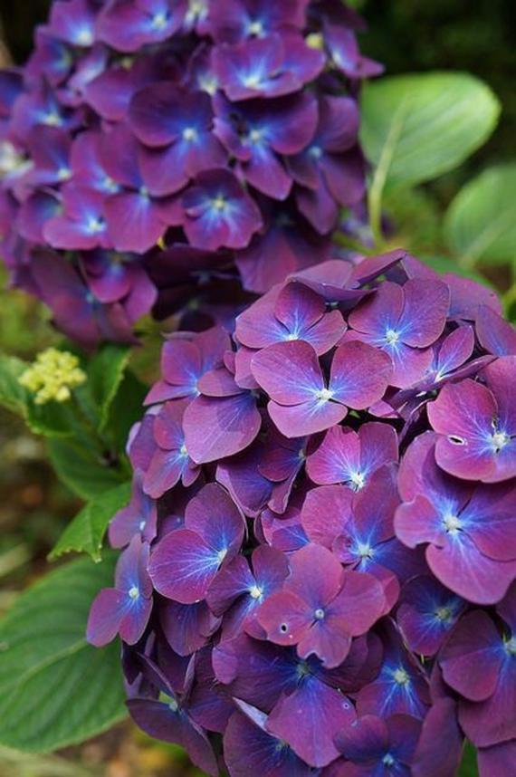 hydrangea garden care #garden #gardencare 5 Purple Blue Hydrangea Seeds Perennial Hardy Garden Shrub Bloom Flower Plant Bush Plant Spring Summ
