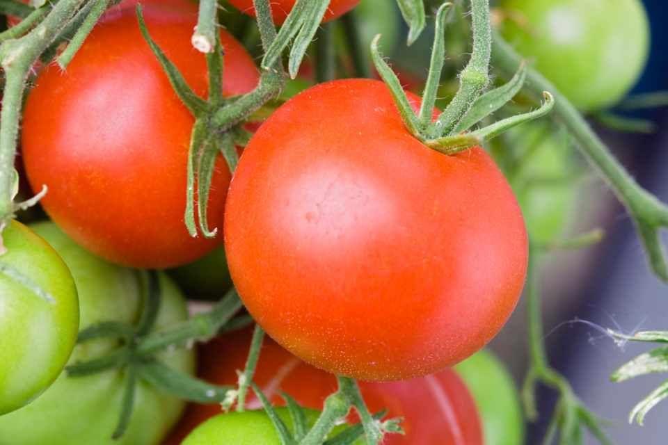 d640fad79833685c6c91aededa991334 - Gardeners World Magazine Free Tomato Seeds