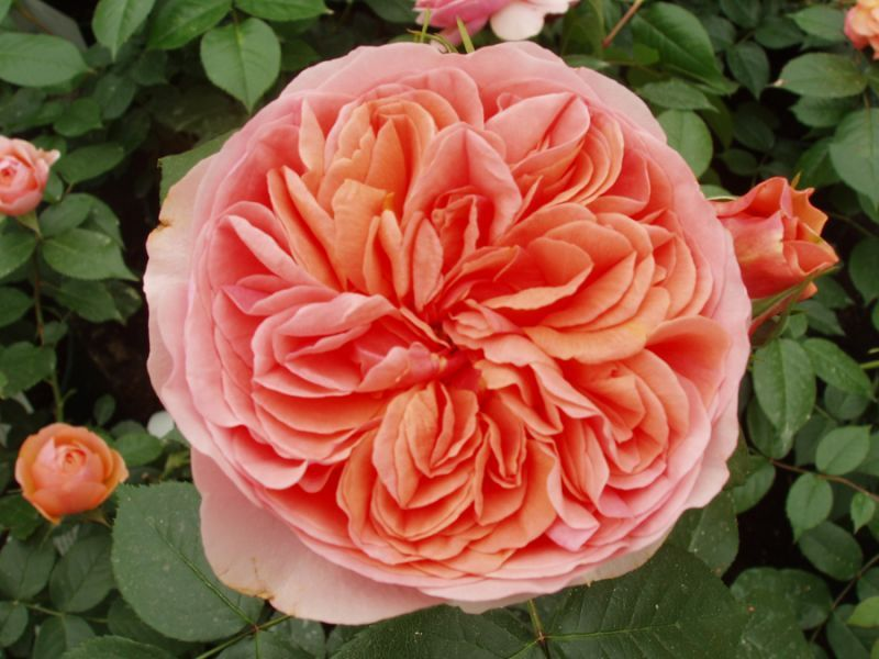 Orange Garden Rose the duchess of cornwall | garden roses | flowers for the garden