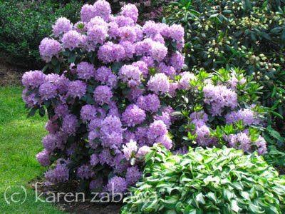 Brueckner Rhododendron Gardens: Mississauga Mayor McCallion Rhododendron Garden Tour