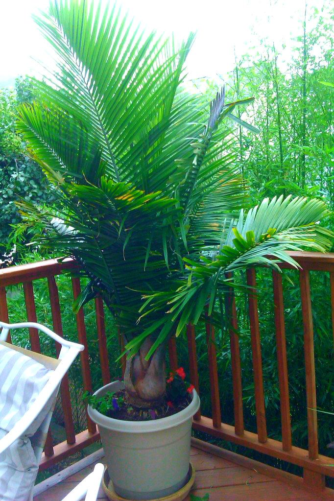 Need Pictures Of Shade Pallms This Is An Old Thread But Here Is My Largest Majesty Grown In Full Sun Potted Plants Outdoor Potted Palm Trees Patio Trees