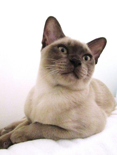 Burmese Kitten Burmese Cat Tonkinese Cat Tabby Cat