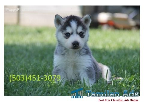 Joy Bringer Siberian Husky Puppies For Adoption Siberian Husky