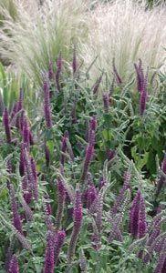 So 40 60 cm h bl ht 6 10 teucrium hircanicum for Pflanzengestaltung garten
