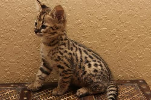 A Savannah Cat Will Be As Much A Part Of My Future Household As A Dishwasher Or Couch Beautiful Creatures Savannah Kitten Kittens Savannah Cat