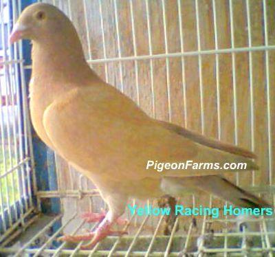 Yellow Racing Homers   Racing Pigeons For Sale   Dove pigeon