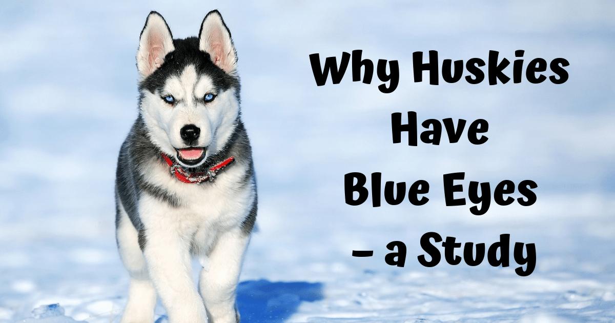 Why Huskies Have Blue Eyes A Study I Love Veterinary Husky Dogs Siberian Husky Dog