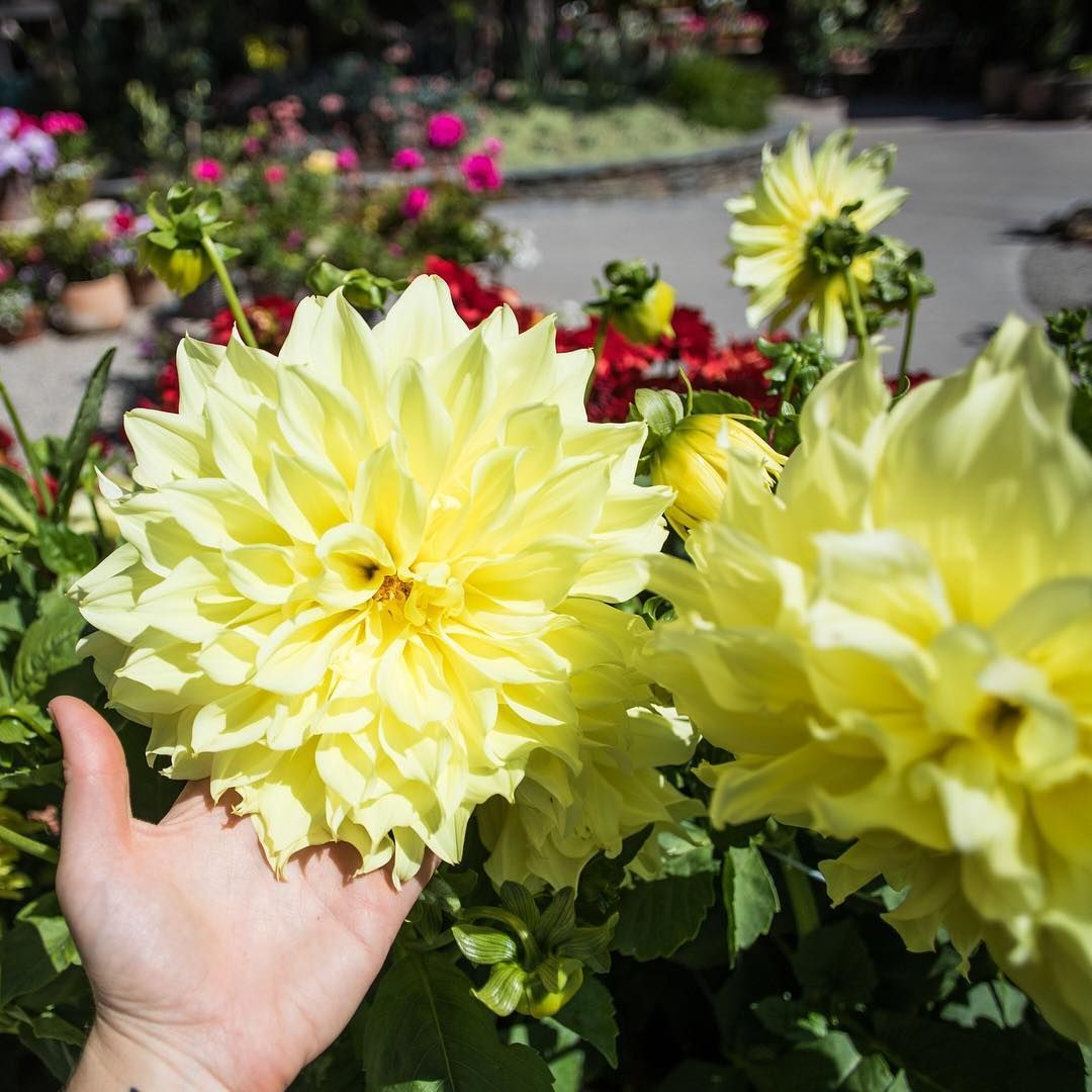Hand For Scale. 😳 XXL Dahlias Are Now In The Gardens.⠀ #rogersgardens #beautyinliving #dahlias⠀ .⠀ .⠀ .⠀ .⠀… | Rogers Gardens, Organic Kitchen, Kitchen Garden