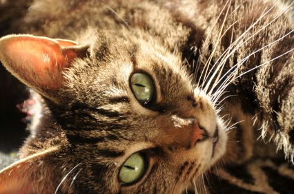 Bunting Behavior in Cats and Felines | Cat Behavior Associates