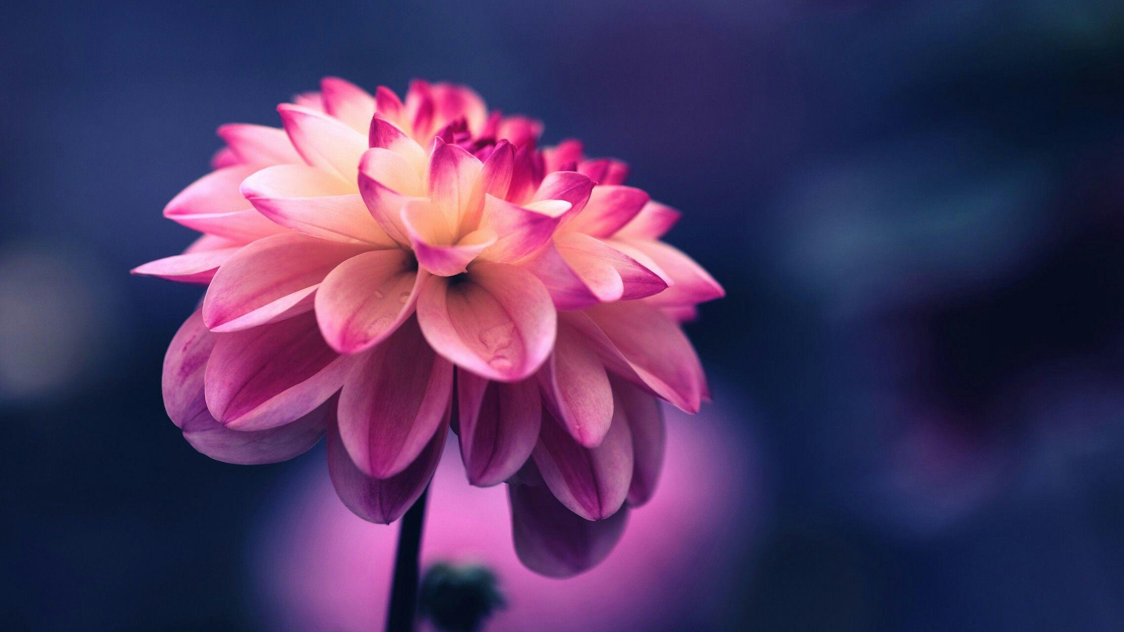 Lotus The National Flower Of India Wallpaper Pinterest Lotus