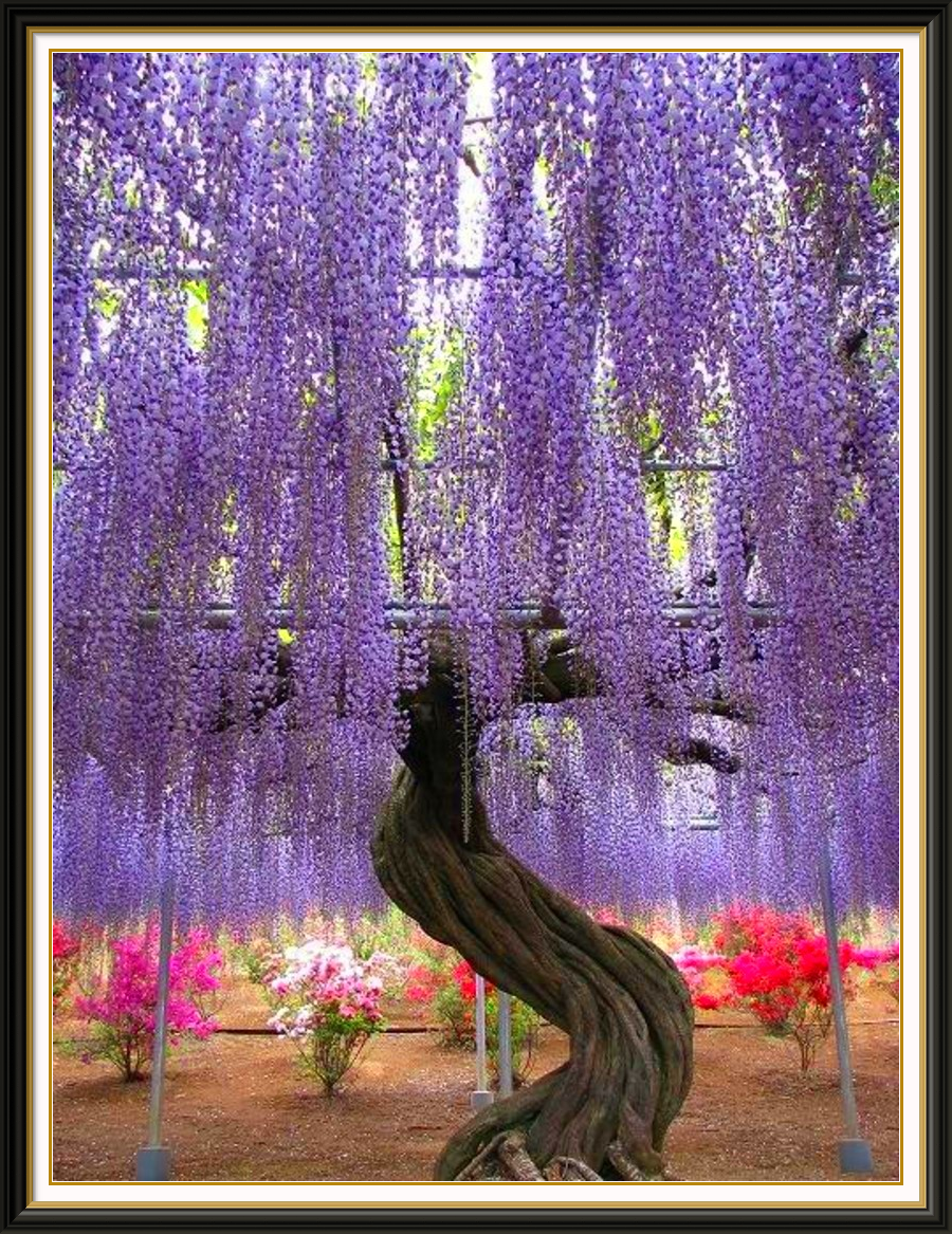 Wisteria tree.. cannot wait to plant one of these!