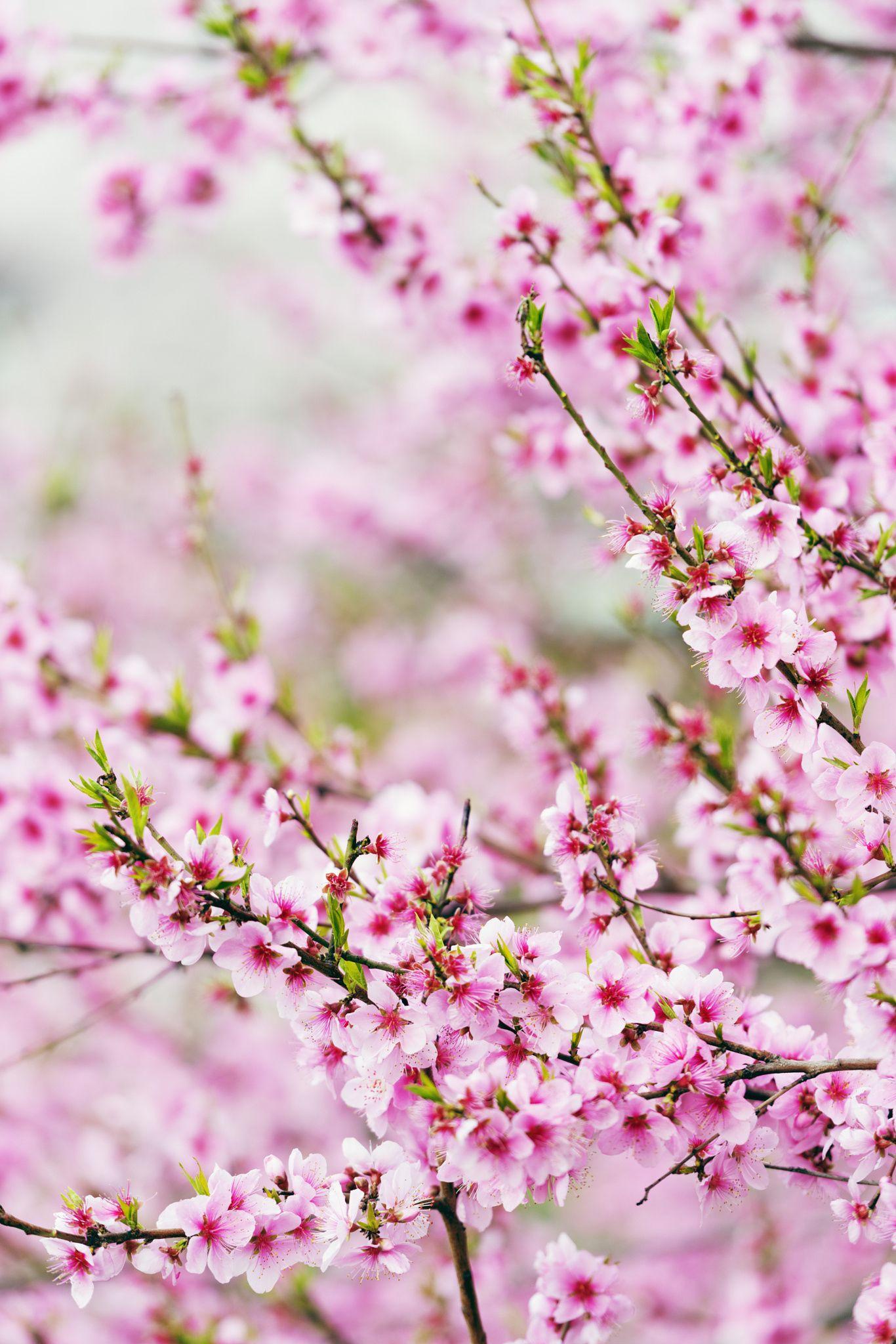 Spring Cherry Blossom Festival Jinhei South Korea Asia Spring Cherry Cherry Blossom Wallpaper Beautiful Flowers Wallpapers Cherry Blossom Festival