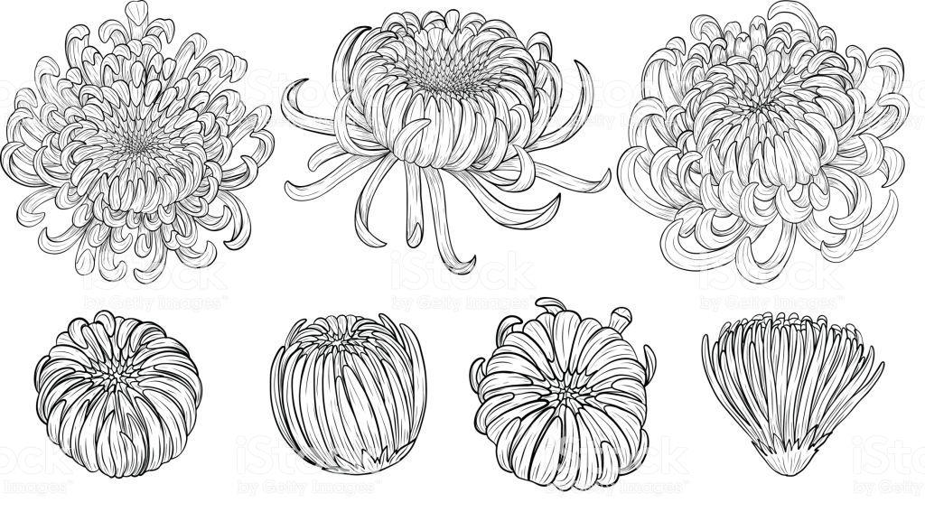 Chrysanthemum Vector On Brown Background Chrysanthemum Flower By Hand Chrysanthemum Tattoo Chrysanthemum Drawing Drawings