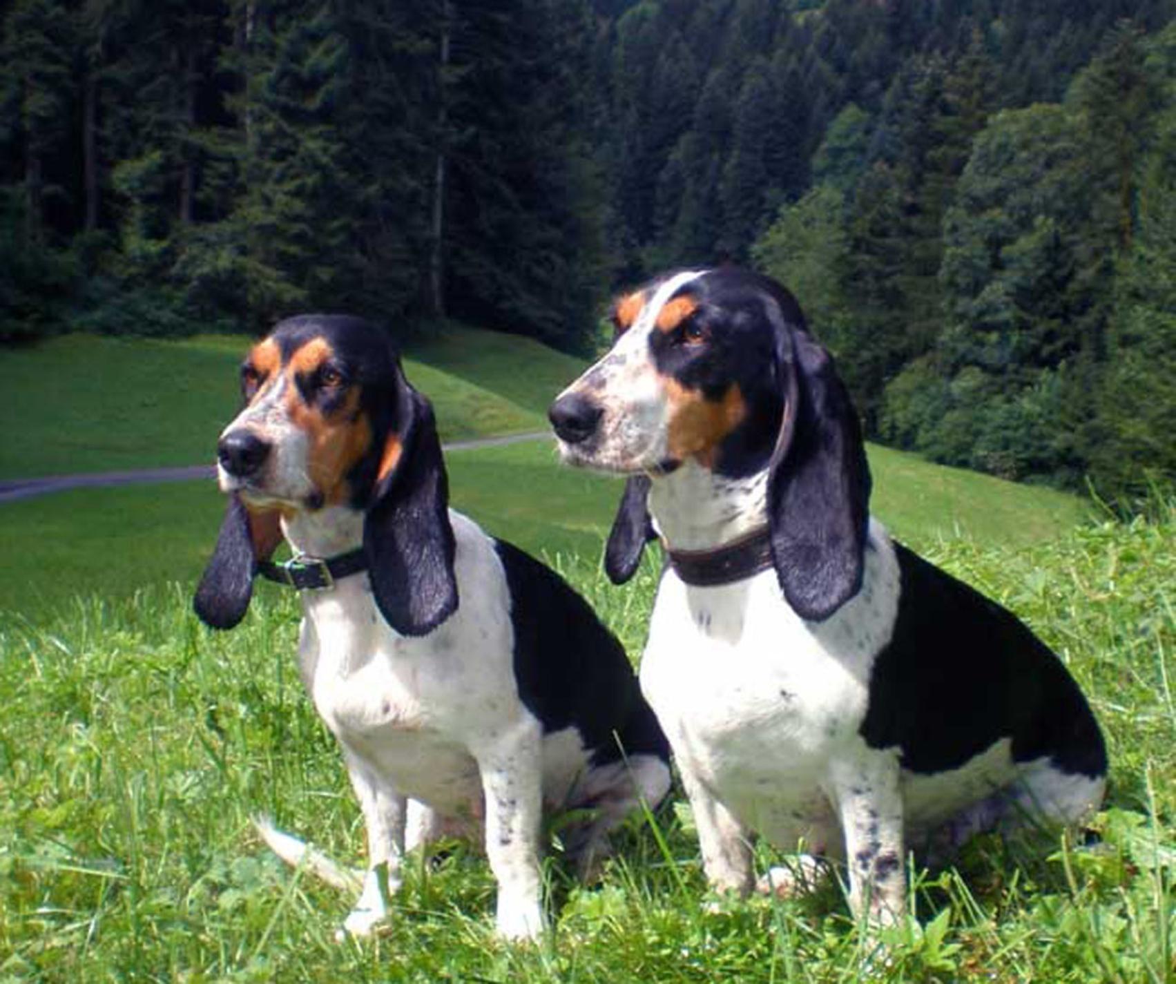 schweizer-laufhund2