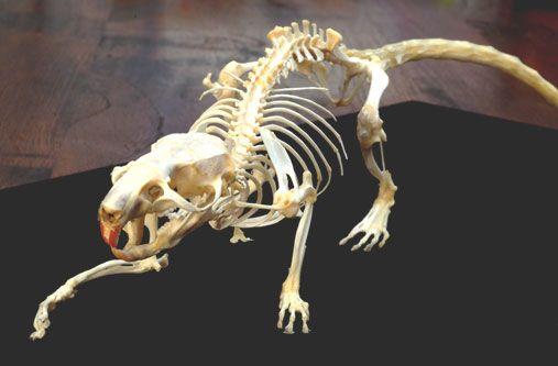 Rat skeleton | Rat Study | Human skeleton anatomy ...