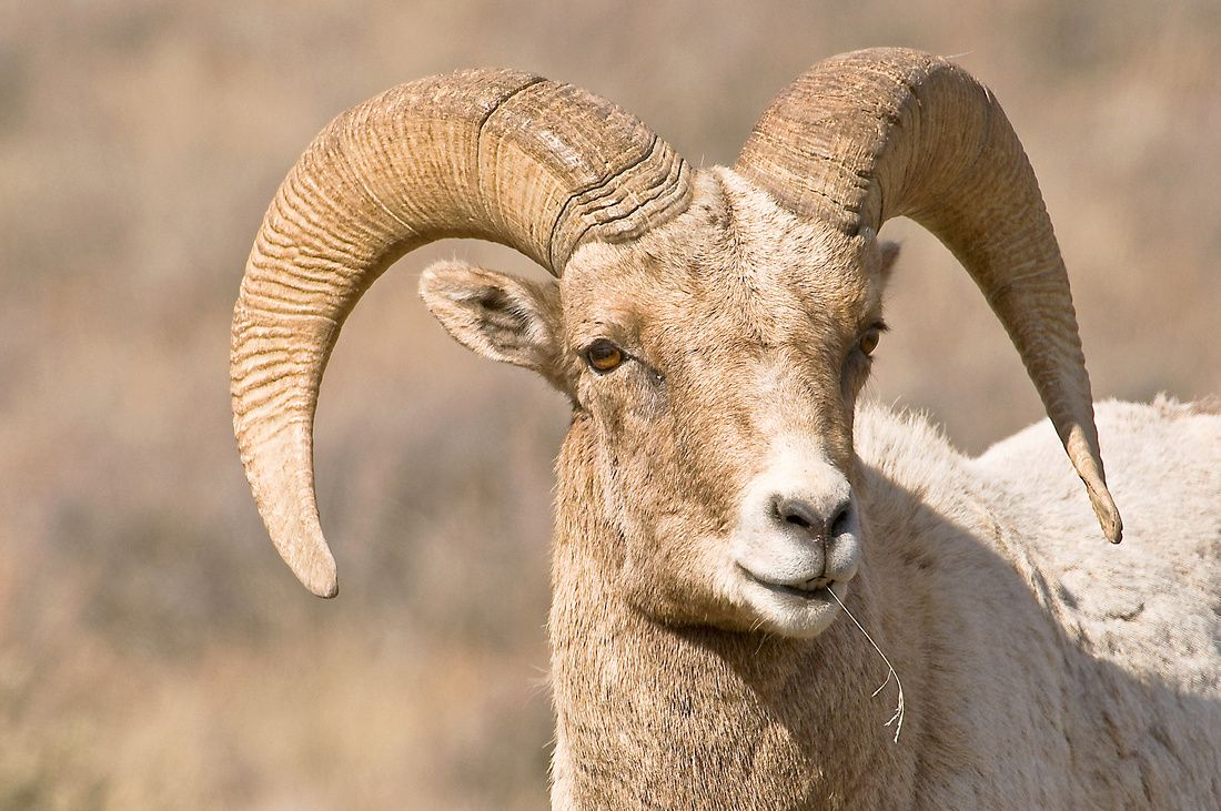 """Honorable Mention. Bighorn Sheep Ram. By Anthony """"Skeeter"""" Lasuzzo"""