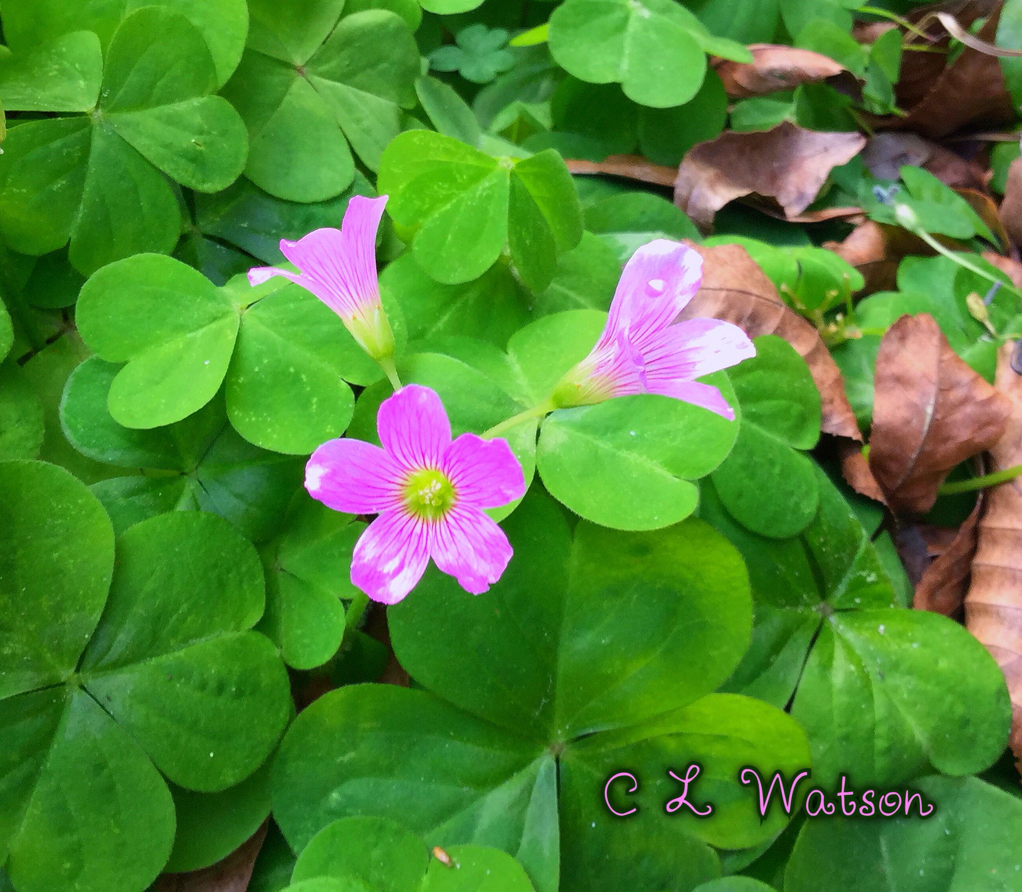 Delicate Purple Clover Flower Blooming Central Florida During