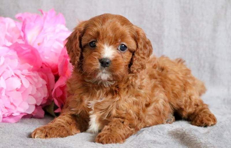 Cavapoo puppy for sale in MOUNT JOY, PA. ADN68785 on