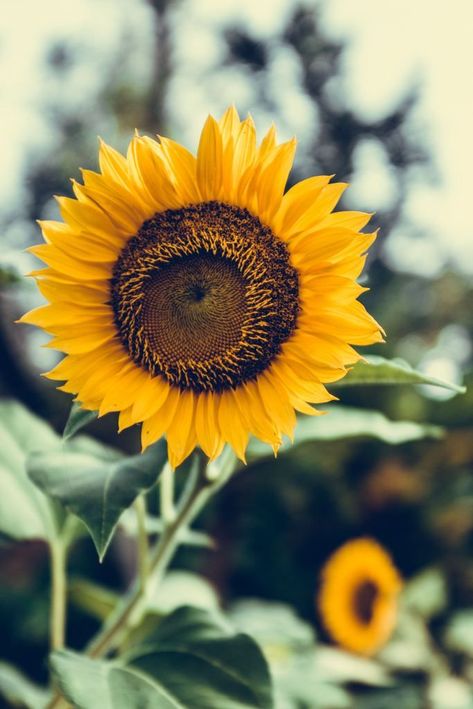Is Your Garden Eco Friendly? Sunflower iphone wallpaper