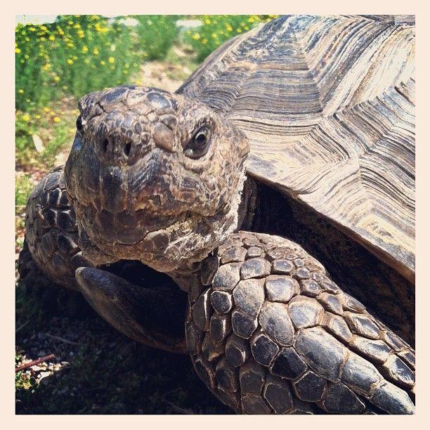 Arthur The California Desert Tortoise (San Diego Zoo