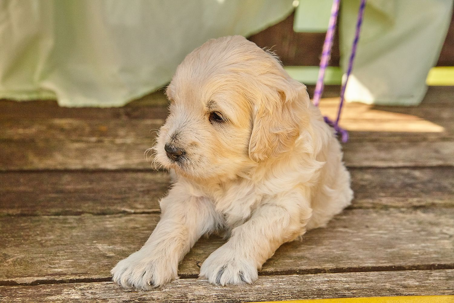 Looking For A Smaller Breed Our Mini Goldendoodles Will Only
