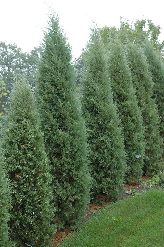 Junipers virginiana 'Taylor' (Taylor Redcedar) - grows to 20' high on vegetable garden layout zone 4, garden design canada, garden design roses, garden plan zone 4, garden design home, garden design atlanta, garden design uk, garden design wall, butterfly garden zone 4, herb garden zone 4, fall garden zone 4, shade garden zone 4,