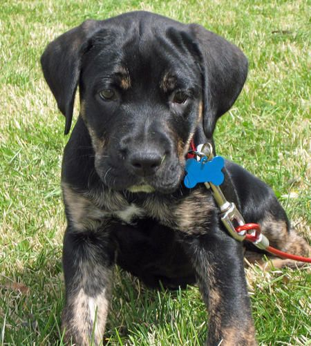Harlan The Mastiff Mix Pictures 1054906 Pets Hound Dog Breeds