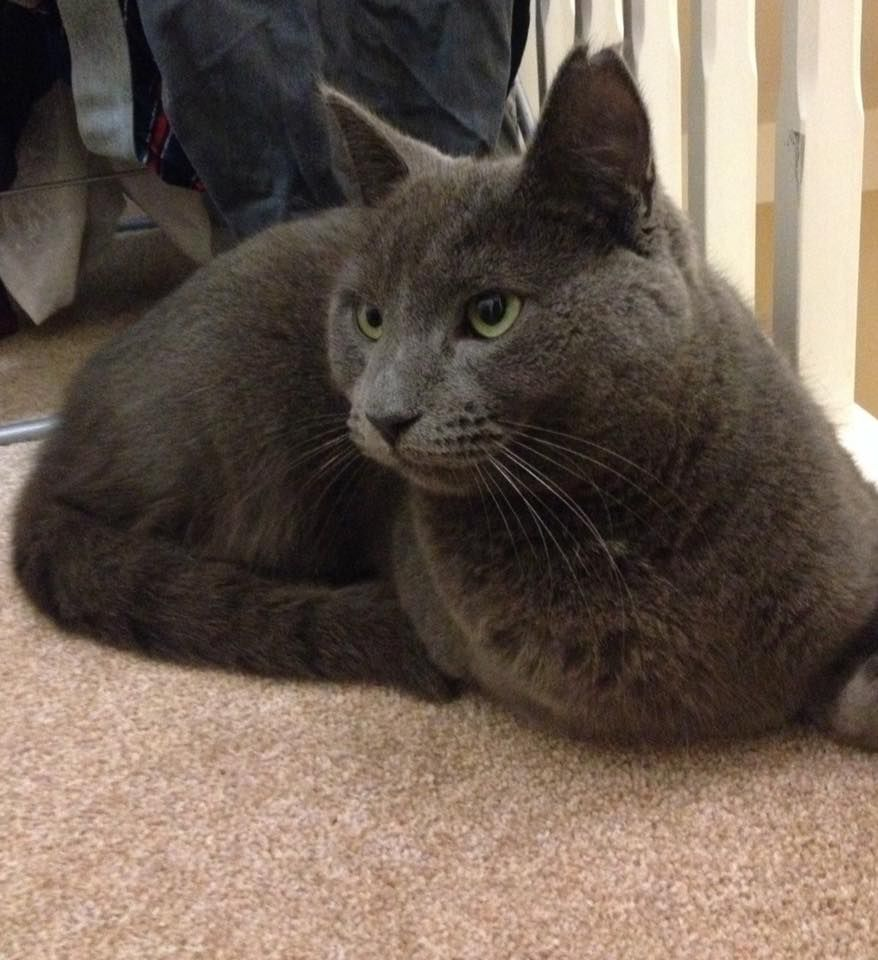 Missing Milo Plymouth Found Cat Cat Uk Large Cats