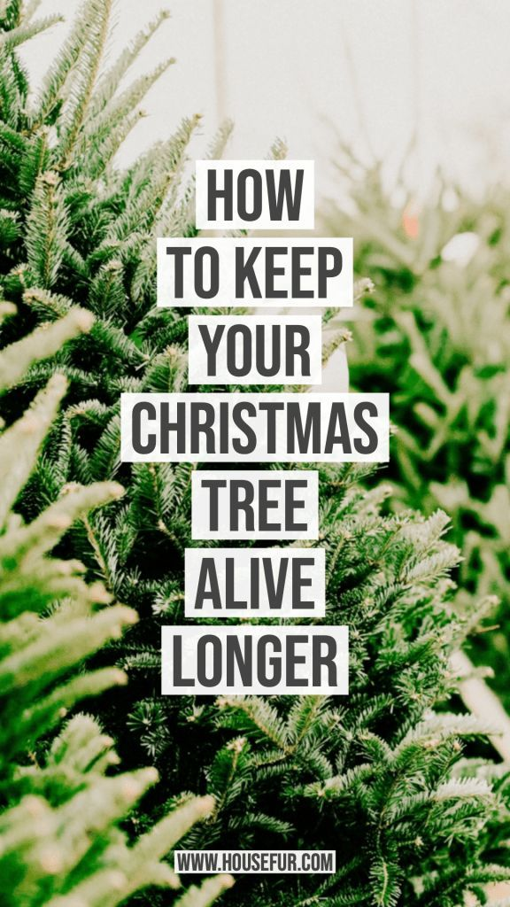 4 Steps To Keep Your Xmas Tree Alive As Long As Possible House Fur In 2020 Xmas Tree Beautiful Christmas Decorations Holiday Tree