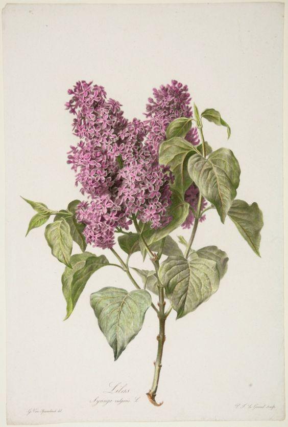 F2878fd99d44234bd481747ef2f90de7 Jpg 564 834 Botanical Illustration Botanical Drawings Antique Botanical Print