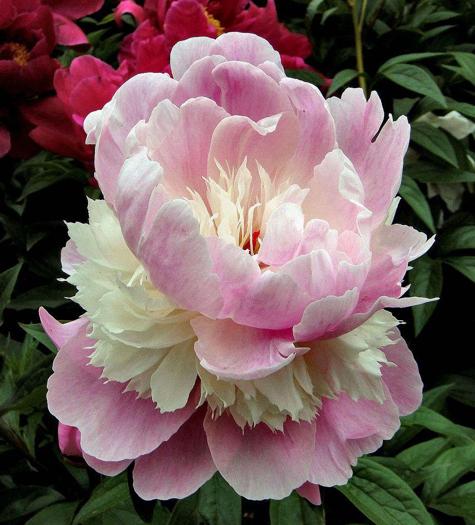 Peony double (Paeonia Lactiflora) Şakayıklar, Çiçek, Bitki