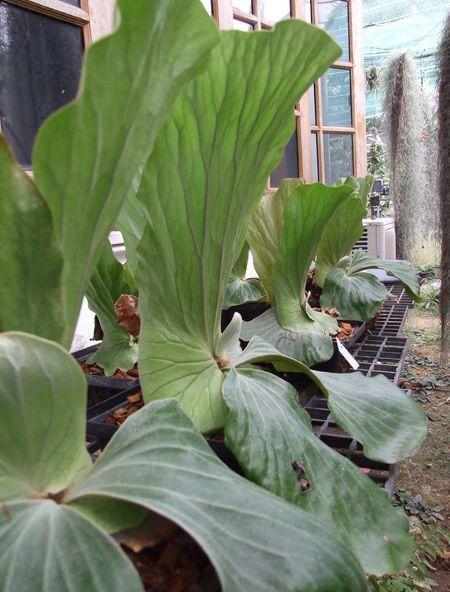 Platycerium elephantotis platicerum cacho venado for Vivero de plantas exoticas