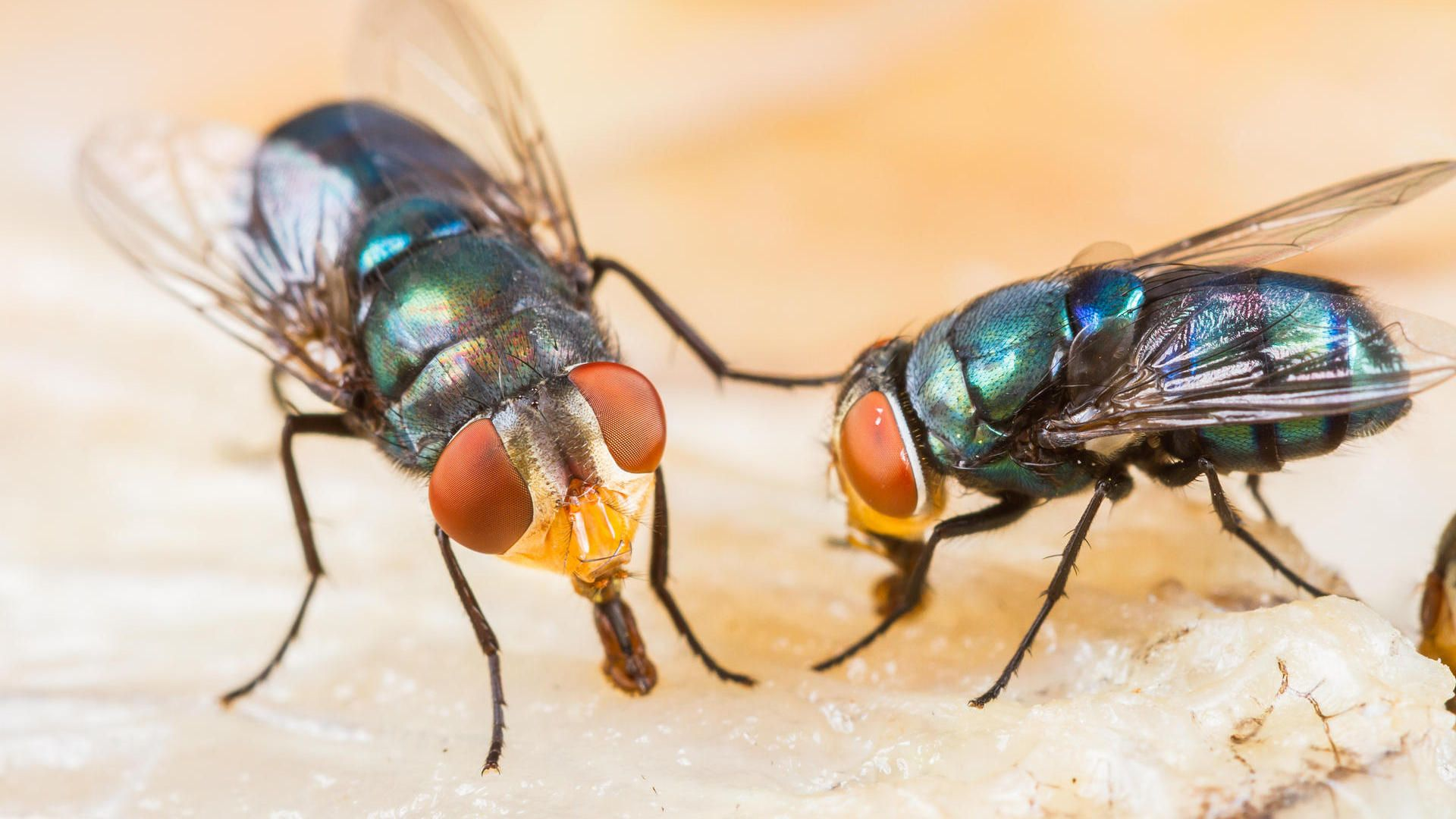 Lästige Fliegen vertreiben und bekämpfen in 17  Fliegen im haus